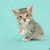 how long should kittens eat kitten food