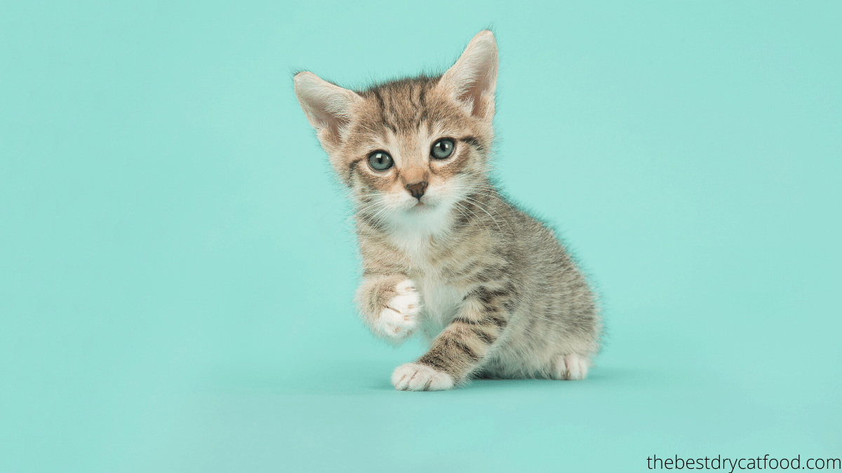 how long should kittens eat kitten food